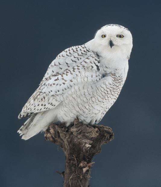 Sun Breaks: Snowy Owls Come To Stanwood