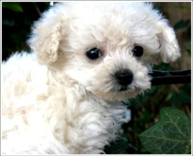 Teacup Poodle Dog Photo | Free Animal Wallpapers