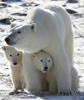 polar%20bears%20animals%20pets