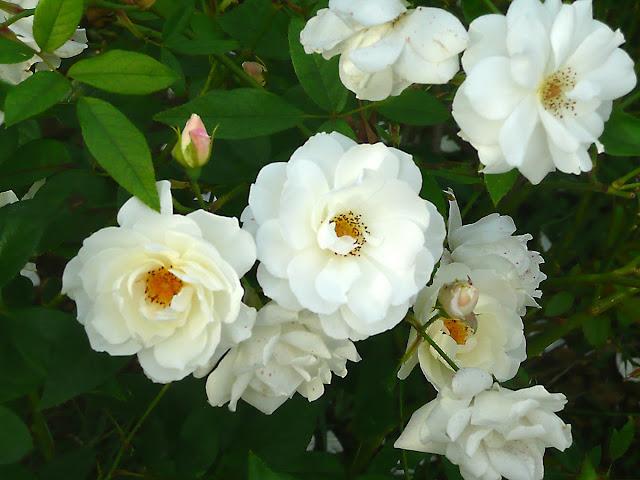 Flores de rosas entre hojas verdes.