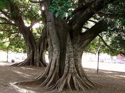 Grueso tronco de gomero mostrando sus raíces.