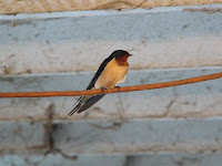 A barn swallow in the cow barn