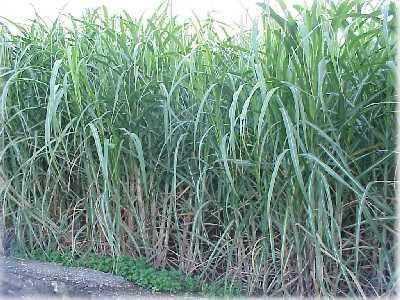 Cultivos de Caña de Azucar