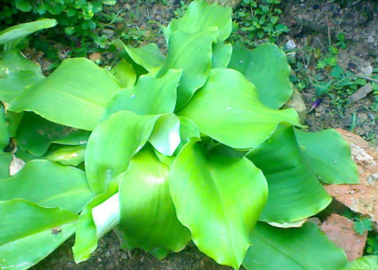 daun daunan apotik hidup untuk herbal daun cekur