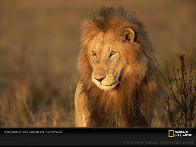 lion wallpaper. Geographic Lion Wallpaper