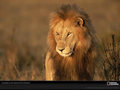wallpaper lion. Geographic Lion Wallpaper