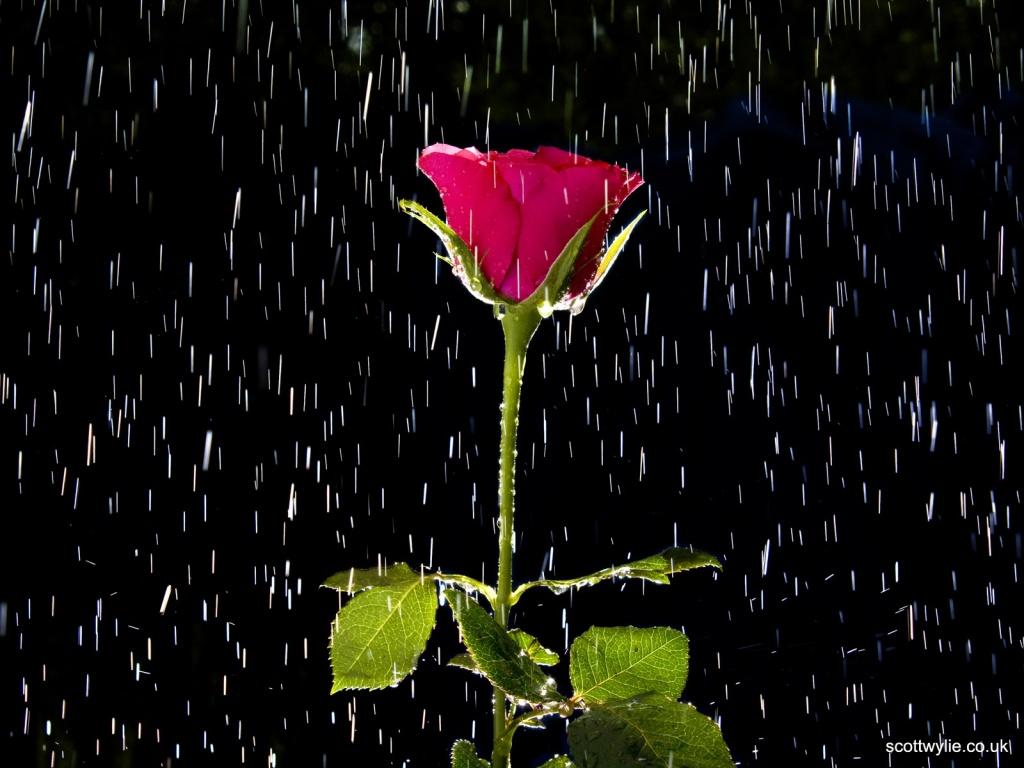 Wallpaper Single Red Rose Flower Water Drops 1920x1200 Hd: Julia Galemire: Oblicua Desde La Lluvia