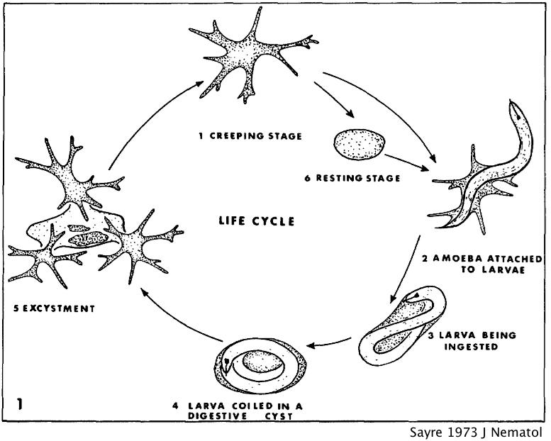 life cycle sponge diagram