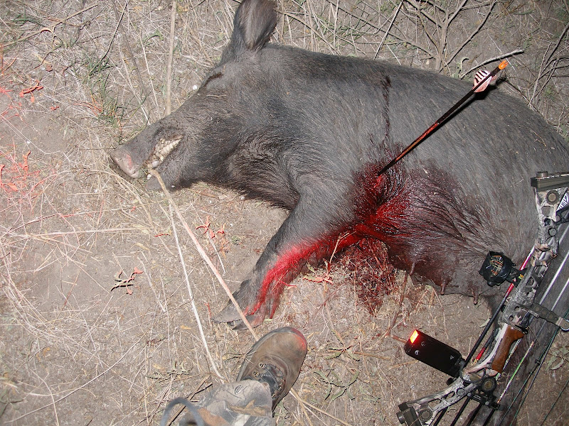 Hog Shot Placement With A Bow Texasbowhunter Community
