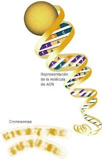 Diagrama Helicoidal de la molécula de ADN e imagen de un cromosoma