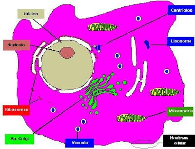 Click para ampliar la imagen. Observese el núcleo definido. Célula Eucariota