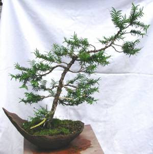 Fichas de bons is tejo - Cultivo de bonsai ...