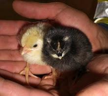 Tillökning- kycklingar