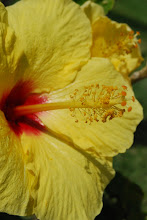 Sun of Hibiscus