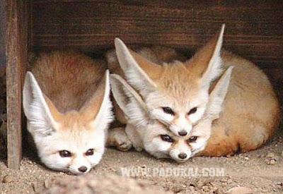 Cute Surya Wallpapers Win Min Cute Fennec Foxes Beautiful Fennec Fox Fennec
