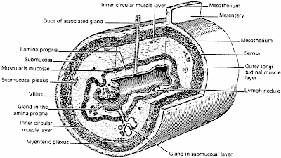 Digestive system in addition VHA Chpt14 Pancreas Liver And Gallbladder additionally Search Vectors likewise Pancreatic Cancer as well 10829813. on pancreatic digestive system photos