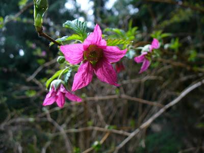 flower, salmonberry, pink flower