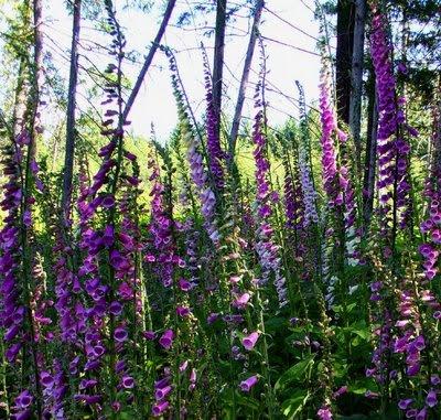 Foxglove plant, flowers