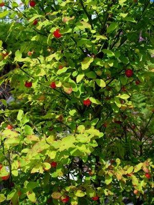 huckleberries, huckleberry