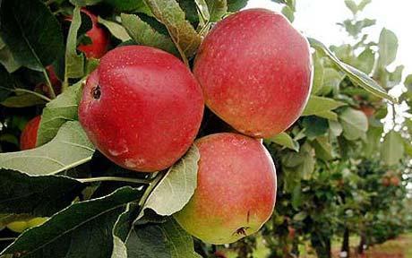 Image result for सेव