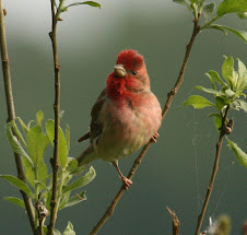 Common Rosefinch, Poland