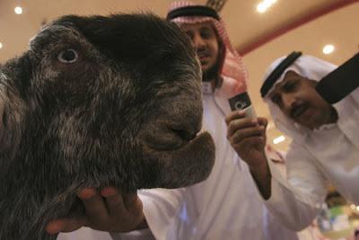 اجمل معزه فى السعوديه