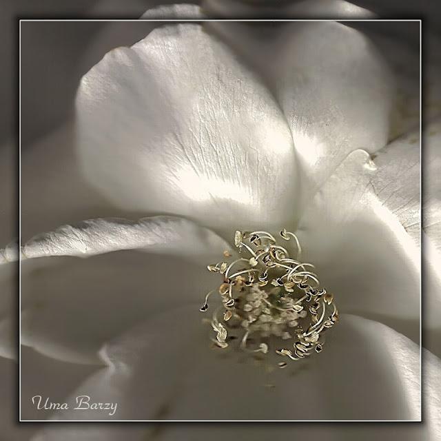 сканирование, белый цветок