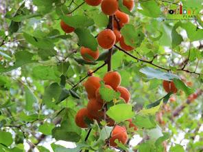 Apricots hi Apricots
