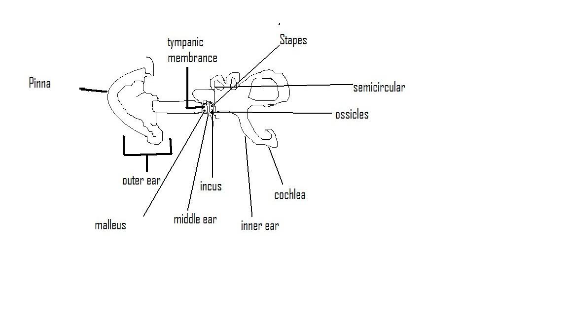 anatomy-mark123: Baisc Ear Anatomy Worksheet