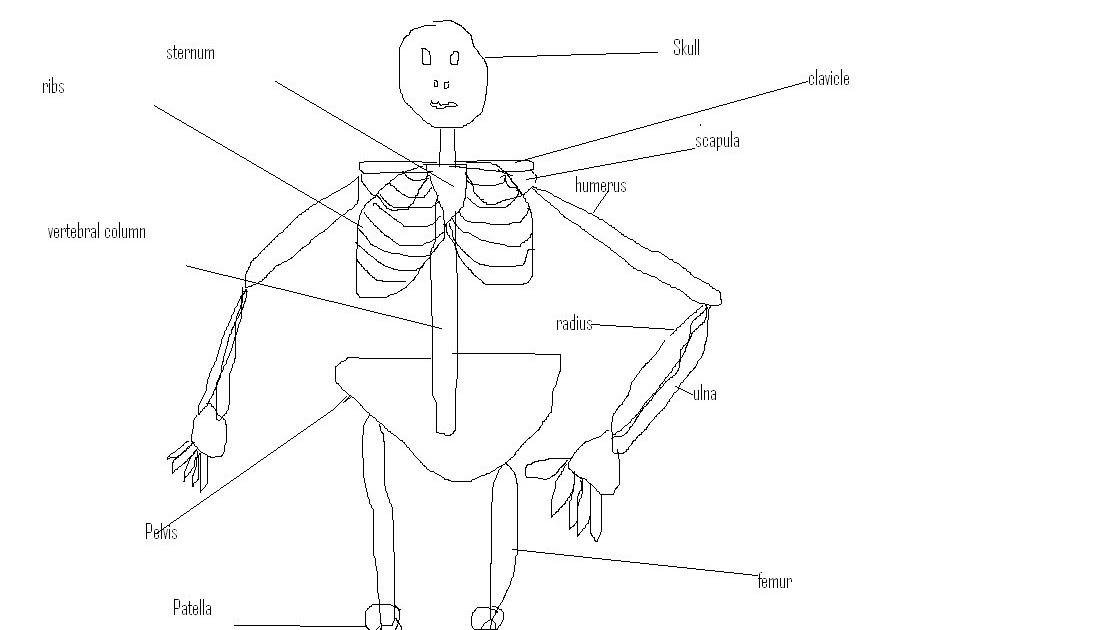 anatomy-mark123: Basic Skeletal Anatomy Worksheet
