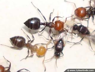 comment liminer les fourmis et les gu pes. Black Bedroom Furniture Sets. Home Design Ideas