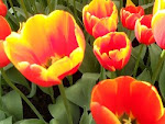 TULIPS & other Flowers for BLOG HEADER