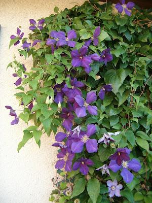 Du four au jardin et mes dix doigts fleurs bleues for Plante 5 doigts bahamas