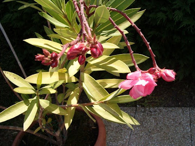 Du four au jardin et mes dix doigts laurier rose rose - Laurier rose toxique au toucher ...