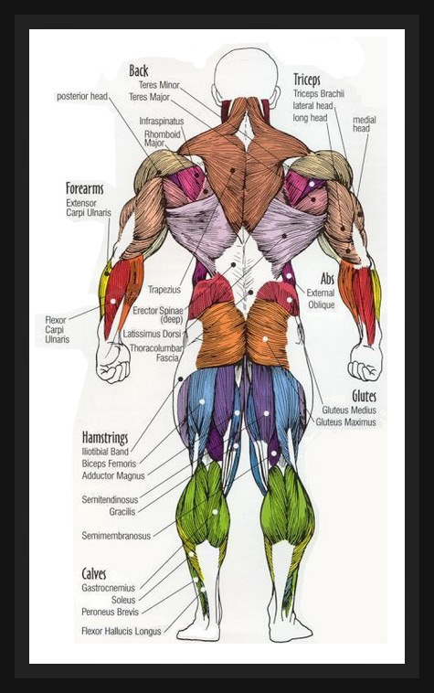 Fat Loss, Building Muscle & Staying Fit: Human Anatomy Diagram