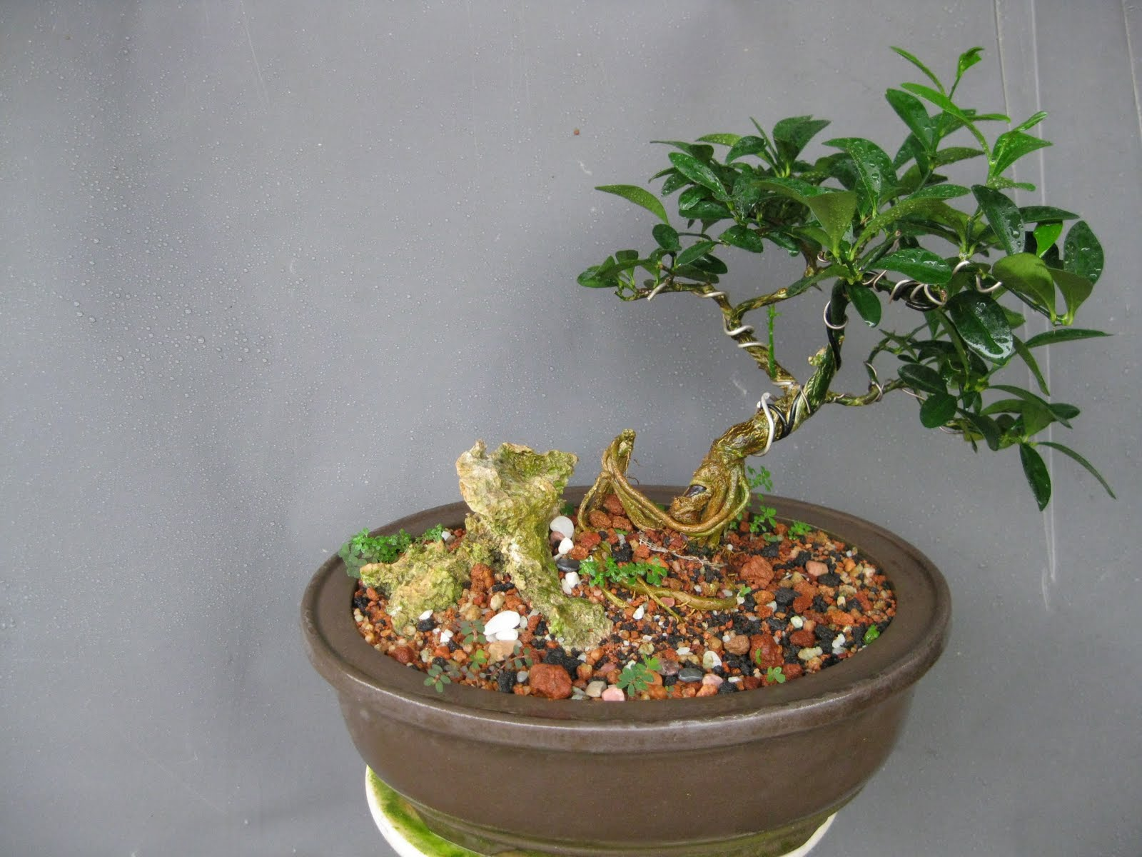 Tanama Hias Tanaman Hias: Bonsai N The Cat Iv
