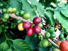 Kaffeplanta