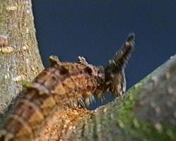 Brown Caterpillar.