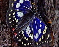 Male Oomurasaki butterfly.