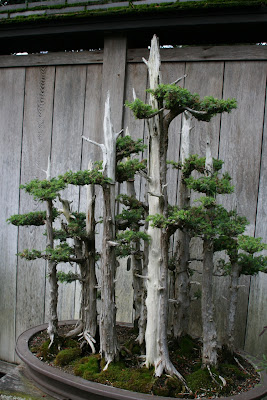 Bonsai trees at Huntington Botanical Gardens