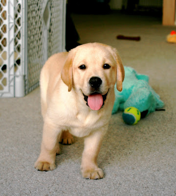Our adorable yellow labrador puppy - Cooper