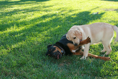Cooper and Ginger's second play-date and it was business as usual