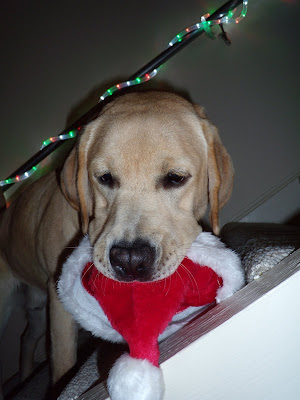 Pup eats his Santa hat