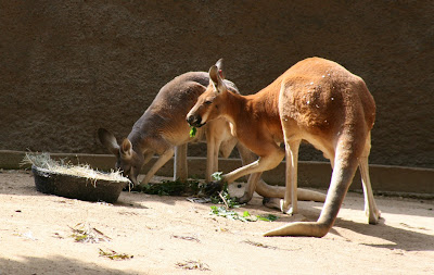 Red Kangaroos feeding at LA Zoo