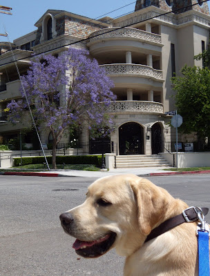 Labrador Cooper in West Hollywood in bloom