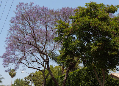Lilac West Hollywood in bloom