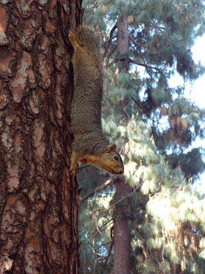 Griffith Park squirrel