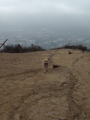 Labrador Cooper at Runyon Canyon