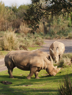 Rhinos on safari