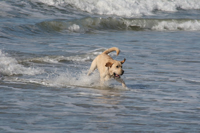 Labrador splashing around at Huntington Dog Beach